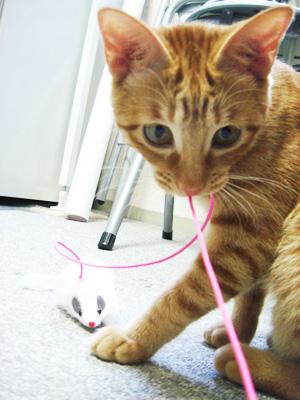 猫のチャト