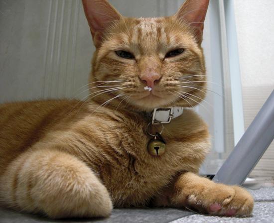 おしゃれバンチョウ猫